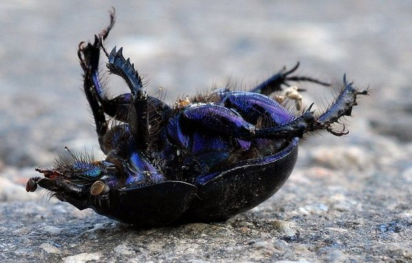 Dead beetle on its back